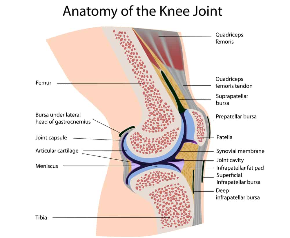 Anatomy of the Knee Joint Victoria Physiotherapy